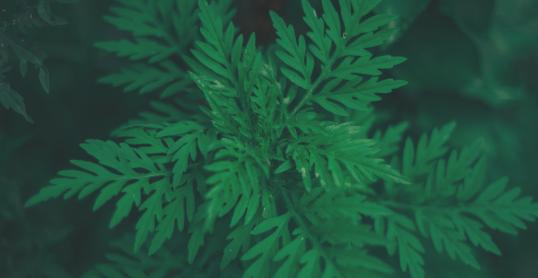 L'herbe à poux : on l'arrache avant le mois d'août